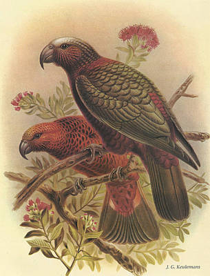 Kaka Poster by Dreyer Wildlife Print Collections