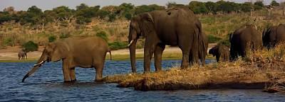 Poster featuring the photograph Kalahari Elephants Preparing To Cross Chobe River by Amanda Stadther