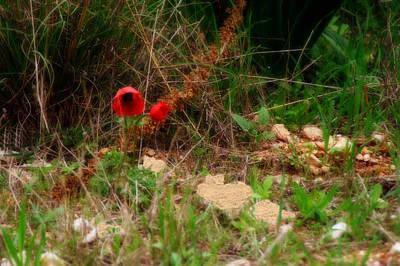 Kalanit Flower- Red Anemone - Series Iv Poster