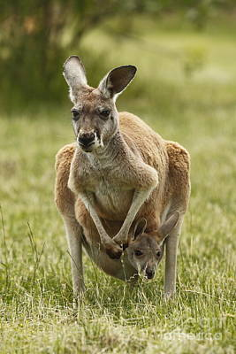 Kangaroo And Joey Poster