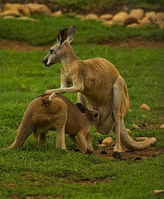 Kangaroo Nursing Its Joey Poster by Chris Flees
