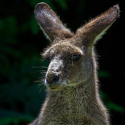 Kangaroo Portrait Poster by Mr Bennett Kent