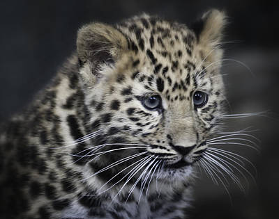 Poster featuring the photograph Kanika - Amur Leopard Portrait by Chris Boulton