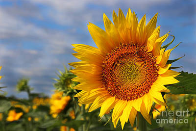 Kansas Sunflowers - 3304 Poster