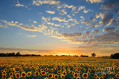 Kansas Sunflowers At Sunset Poster by Catherine Sherman
