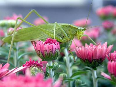 Poster featuring the photograph Katydid by Teresa Schomig