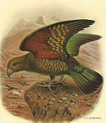 Kea Poster by Dreyer Wildlife Print Collections