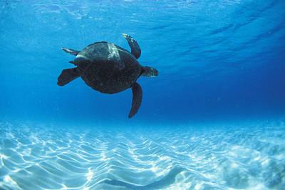 Keiki Turtle Poster by Sean Davey