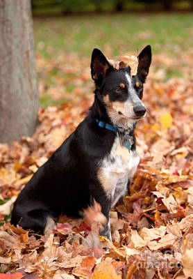 Kelpie Australian Sheep Dog In Fall Poster