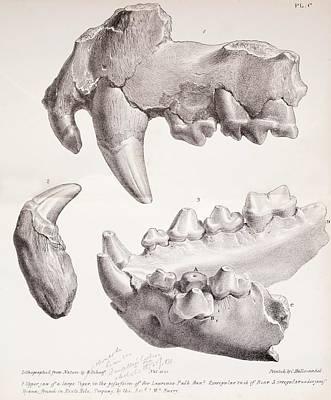 Kents Cavern Cave Lion Fossils Poster