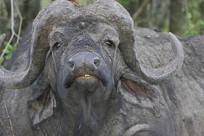 Kenya Frontal View Of Cape Buffalo Poster