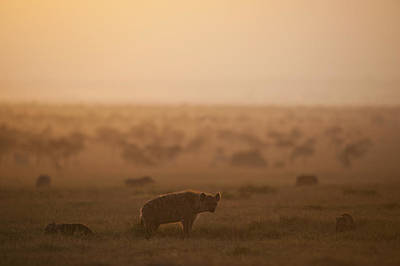 Kenya, Hyena With Cubs At Dawn In Ol Poster by Ian Cumming