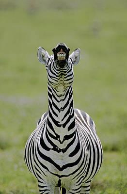 Kenya Male Burchell's Zebra Exhibits Poster by Jaynes Gallery