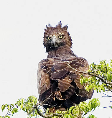 Kenya Martial Eagle Perched On Tree Poster
