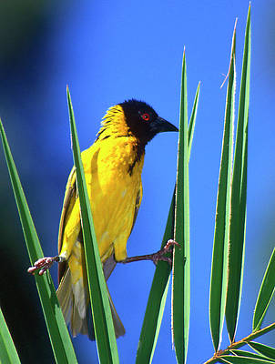 Kenya Masked Weaver Bird Grasps Leaves Poster by Jaynes Gallery