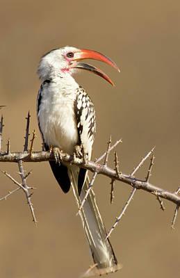 Kenya Red-billed Hornbill Bird Perched Poster by Jaynes Gallery