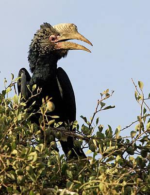 Kenya Silvery-cheeked Hornbill Bird Poster by Jaynes Gallery