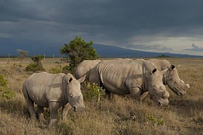 Kenya, Southern White Rhinos In Ol Poster by Ian Cumming