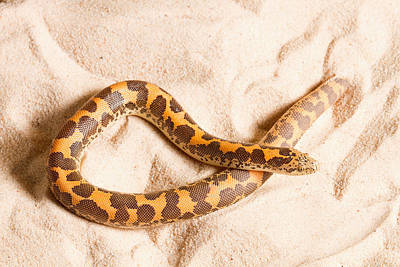 Kenyan Sand Boa Eryx Colubrinus Poster