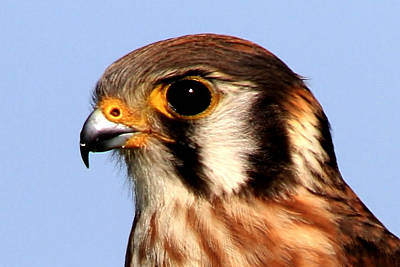 Kestrel Closeup Poster