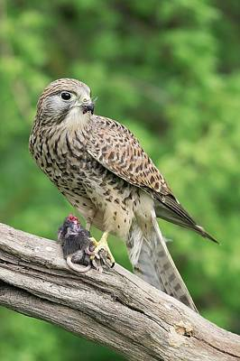 Kestrel Feeding On A Mouse Poster by Linda Wright