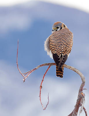 Poster featuring the photograph Kestrel In The Cold by Jeremy Farnsworth