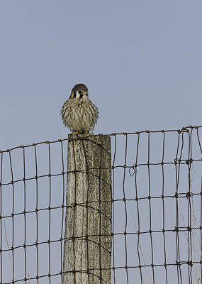 Kestrel On A Fence Pole Poster by Thomas Young