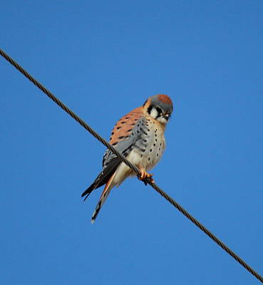 Kestrel On A Wire Poster