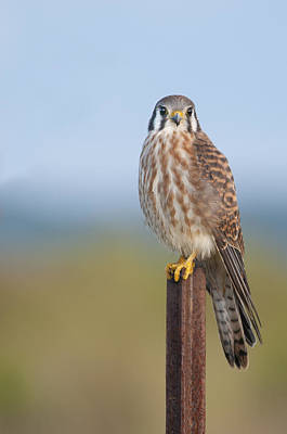 Kestrel On Metal Post Poster