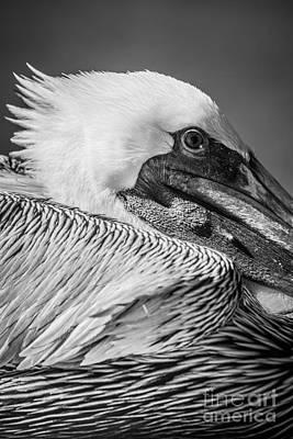 Key West Pelican Closeup 2 - Pelecanus Occidentalis - Black And White Poster