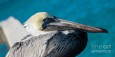 Key West Pelican Closeup - Panoramic Poster by Ian Monk