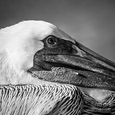 Key West Pelican Closeup - Square - Black And White Poster