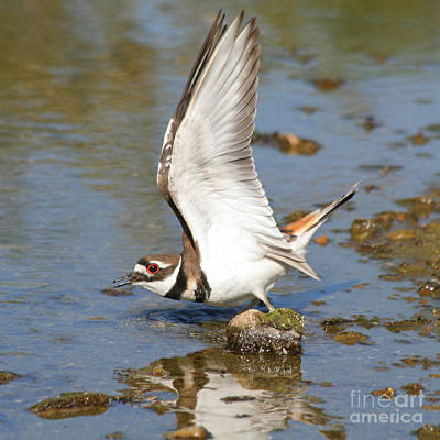 Poster featuring the photograph Killdeer-2 by Bob and Jan Shriner
