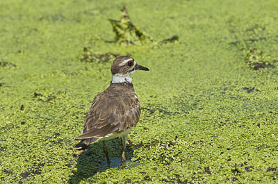 Killdeer - 6884 Poster
