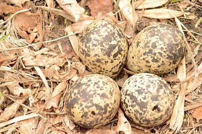 Killdeer Eggs Poster by Dacia Doroff