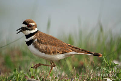 Poster featuring the photograph Killdeer by Geraldine DeBoer