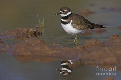 Poster featuring the photograph Killdeer Reflection by Bryan Keil