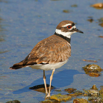 Poster featuring the photograph Killdeer Wading by Bob and Jan Shriner