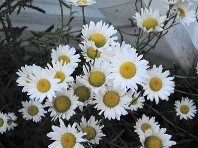 Kindergarten Daisies Poster by Suzanne Perry