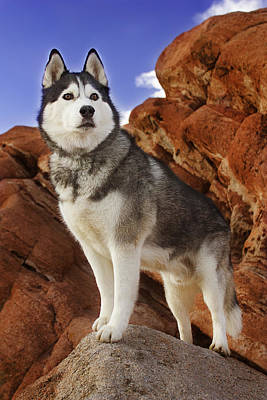 Poster featuring the photograph King Of The Huskies by Brian Cross