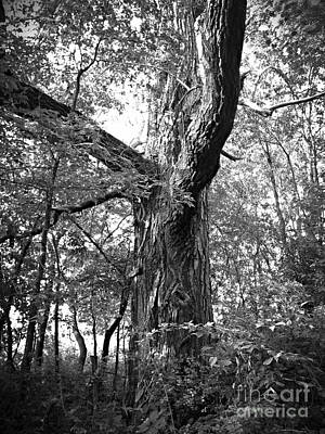 King Of The Timber Bw Poster