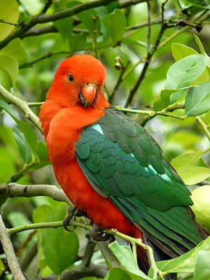 Poster featuring the photograph King Parrot Male by Margaret Stockdale