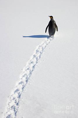 King Penguin And Tracks S Georgia Island Poster by Yva Momatiuk and John Eastcott