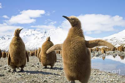 King Penguin Chicks South Georgia Island Poster