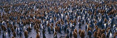 King Penguin Colony Salisbury Plain Poster