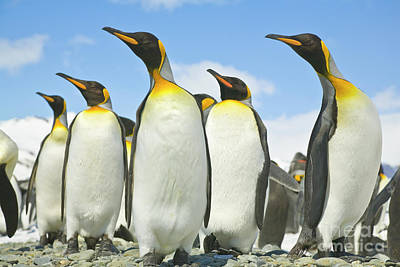 King Penguins Looking Poster by Yva Momatiuk John Eastcott