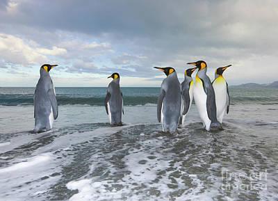 King Penguin In The Surf Poster by Yva Momatiuk John Eastcott