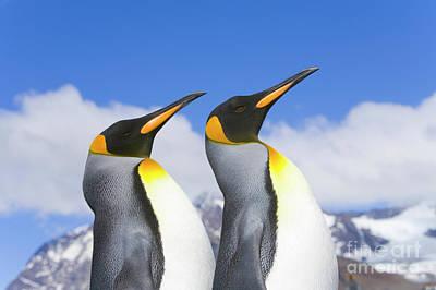 King Penguin Duo Poster by Yva Momatiuk John Eastcott