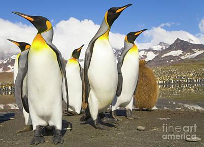King Penguins At St Andrews Bay Poster by Yva Momatiuk and John Eastcott