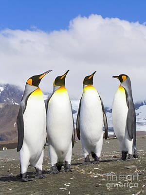 King Penguins St Andrews Bay Poster by Yva Momatiuk John Eastcott